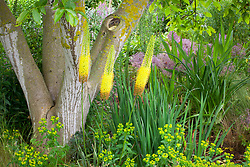 Eremurus 'Emmy Ro' - Foxtail lily - with Euphorbia ceratocarpa, Allium cristophii with iris and crocosmia foliage under a walnut tree at Cotswold Garden Flowers