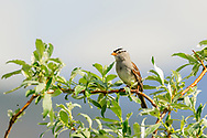 White-crowned Sparrow (Zonotrichia leucophrys) perching on willow  outside of Nome on the Seward Peninsula in Northwest Alaska. Spring. Morning.