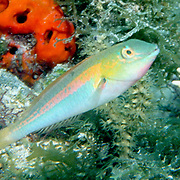 Bluelip Parrotfish inhabit shallow seagrass beds, occasionally in coral rubble mixed with gorgonians in Tropical West Atlantic; picture taken Anguilla.