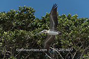 A brown pelican takes flight from Bona Island in the Bay of Panama.