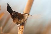 Crombecs & African Warblers