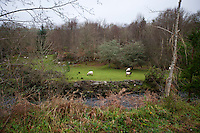 Sheep grazing next a stream, Kenmare, Ireland