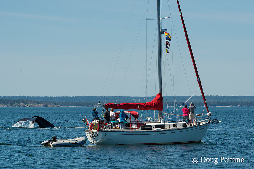 humpback whale, Megaptera novaeangliae, dives behind sailboat off Grand Manan Island, Bay of Fundy, New Brunswick, Canada ( North Atlantic Ocean )