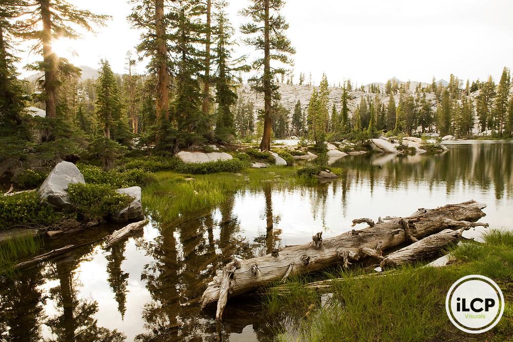 Lodgepole Pine (Pinus contorta) forest on lake shore in sub-alpine zone, Ansel Adams Wilderness, Sierra Nevada, California