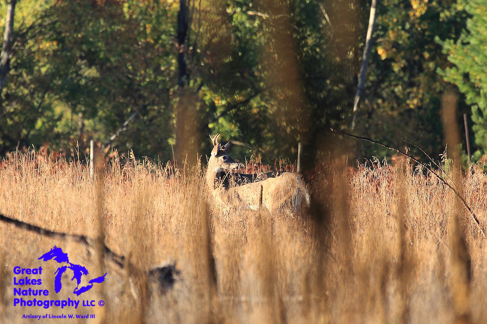 A white-tailed buck moves carefully through a tall-grass meadow.