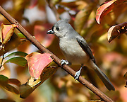 Images of tufted titmouse.