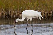 Whooping crane, feeding, marsh, Aransas National Wildlife Refuge, Texas, winter