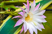 Flowering cactus. White and pink flower of a blooming echinopsis