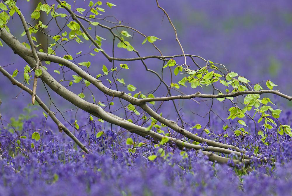 Beech tree Fagus sylvatica branch and bluebells Hyacinthoides non-scripta carpet in Hallerbos forest, Belgium