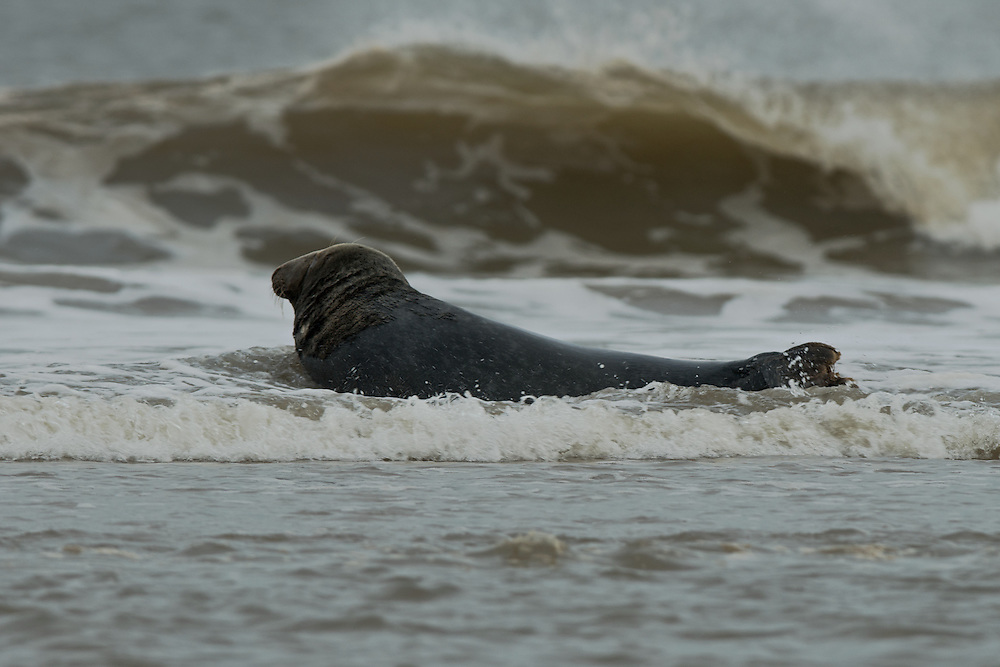 Bull Grey seal resting in the surf