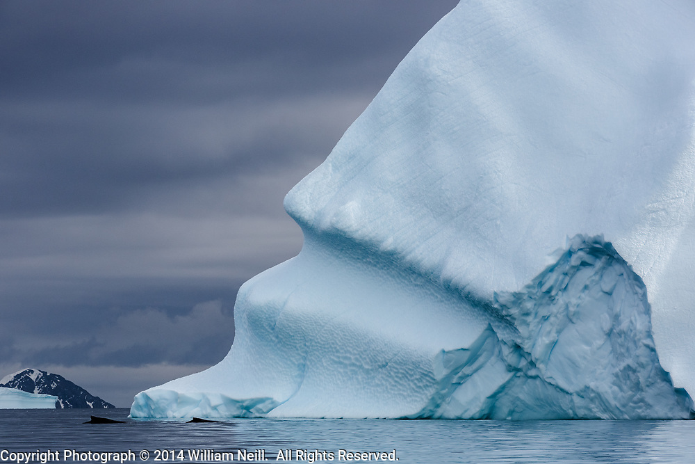 Two Humpback Whales and Iceberg, Cierva Cove, Antarctic Peninsula, Antarctica  2014