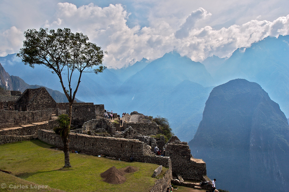 A three in the ruins of the lost city of Machu Picchu. Located in the region of Cusco in Peru.