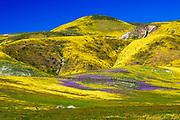 Wildflowers in the Temblor Range, Carrizo Plain National Monument, California USA