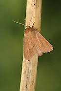 Small Wainscot Chortodes pygmina Length 12-15mm. A small autumn-flying moth that rests with its wings held in a shallow tent-like manner. Adult has forewings that range from buff to reddish-brown; the veins are darker than the wing ground colour. Flies August-September. Larva feeds inside stems of sedges. Widespread and locally common throughout Britain.
