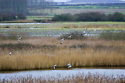 Flock of wild Shelducks overwinter near Holkham, North Norfolk coast, East Anglia, England, United Kingdom