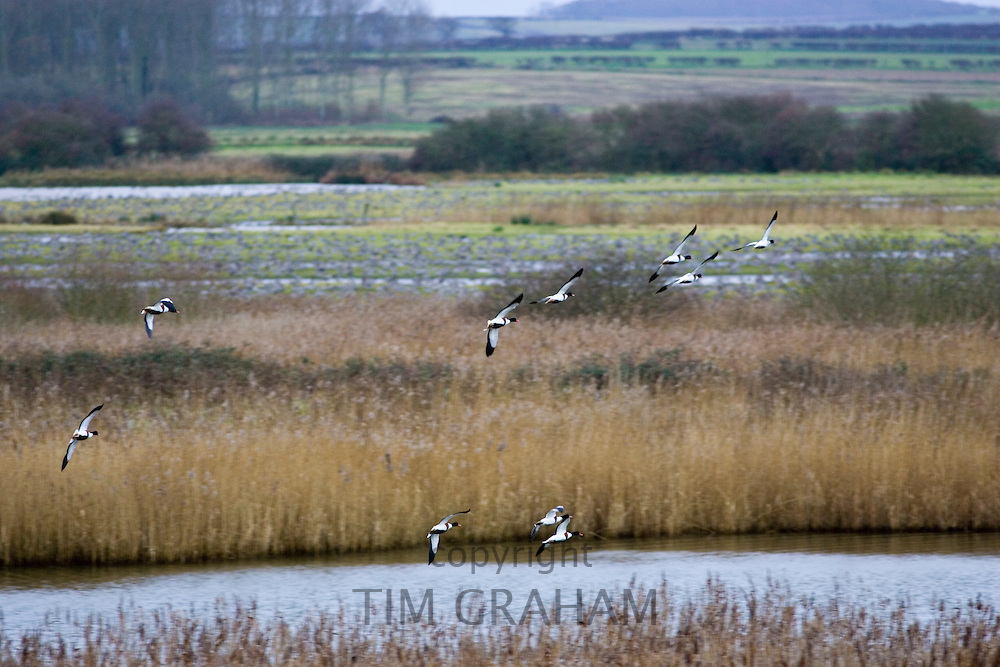 Flock of wild Shelducks overwinter near Holkham, North Norfolk coast, East Anglia, England, United Kingdom