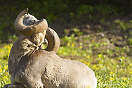 Bighorn Ram at Logan Pass in Glacier National Park in Montana