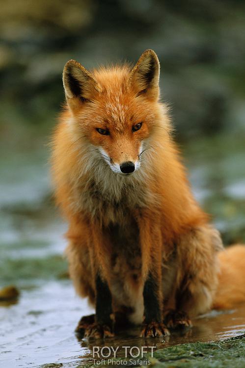 Red fox (Vulpes vulpes)  Kenai Peninsula, Alaska.