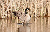 A Canadian Goose stretches after feeding on aquatic bottom plants on this marsh pond.