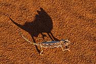 Namaqua chameleon, Namib-Naukluft National Park, Namibia