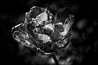 A fully unfurled tulip bloom in black and white.