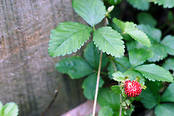 July 2007: wild strawberry, Chattanooga Nature Center. Attractions near Chattanooga Tennessee. Point Park, National Park Service - Lookout Mountain, TN.