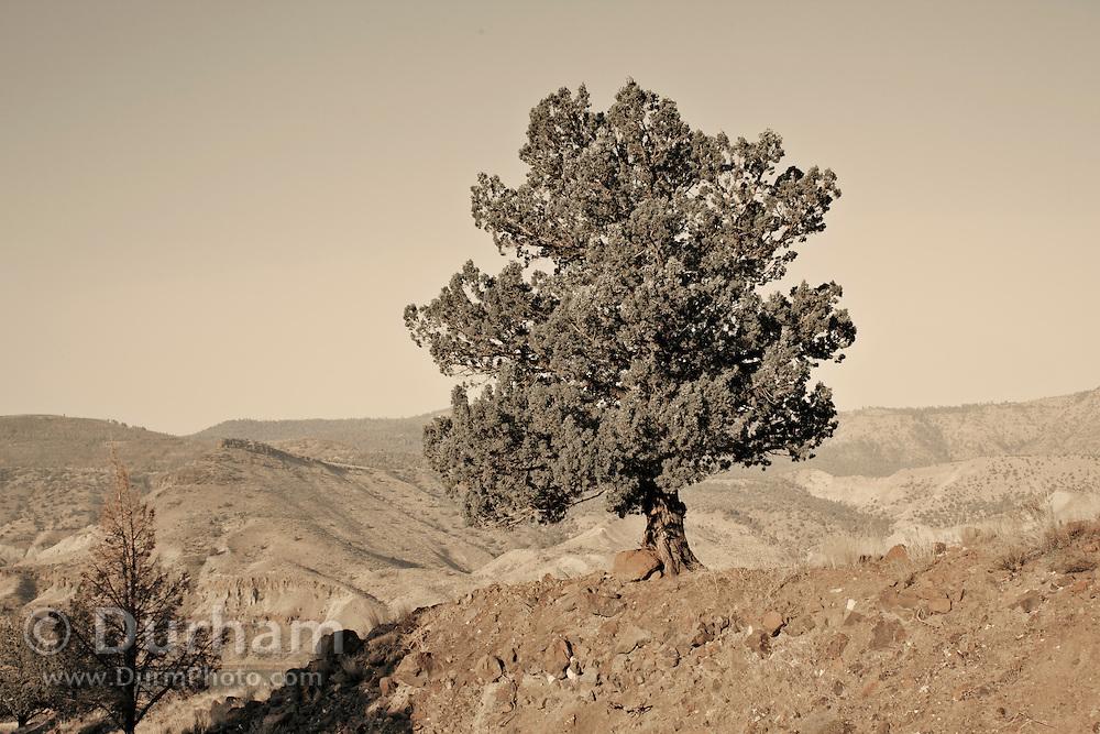 A western juniper tree (juniperus occidentalis), John Day Fossil Beds National Monument, Oregon.