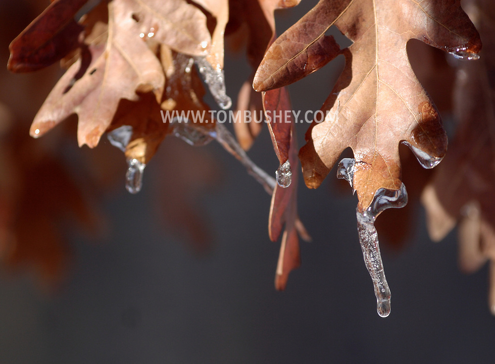 Middletown , NY - The sun starts to melt the ice that freezing rain left on oak leaves on Dec. 11, 2007.
