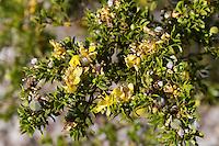 Creosotebush, (Larrea tridentata), Big Bend National Park, Texas