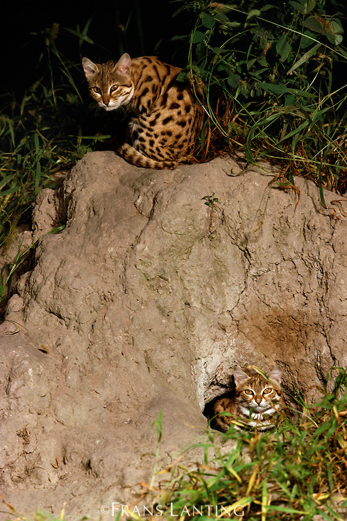 Black-footed cats at burrow, Felis nigripes, Okavango Delta, Botswana