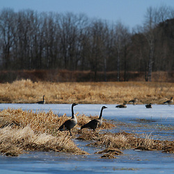 Spring geese on a frozen pond in east central Minnesota.