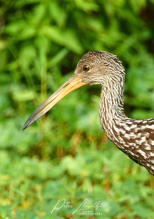 Limpkin (Aramus guarauna) portrait, Arthur R Marshall National Wildlife Reserve - Loxahatchee, Florida, USA.    Photo: Peter Llewellyn