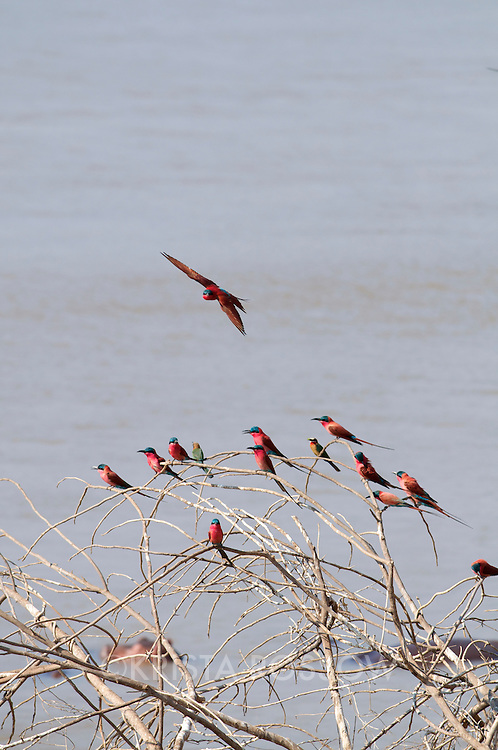 Carmine Bee-eaters perched on bare branches above the Luangwa River.