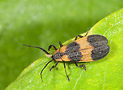 Banded Net-wing Beetle; Calopteron reticulatum; on milkweed leaf;  PA, Philadelphia, Schuylkill Center
