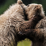 Second season brown bear cubs play fighting in Lake Clark National Park Alaska.