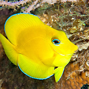 Blue Tang juveniles are entirely yellow except blue edge on dorsal and anal fins; picture taken Little Cayman.