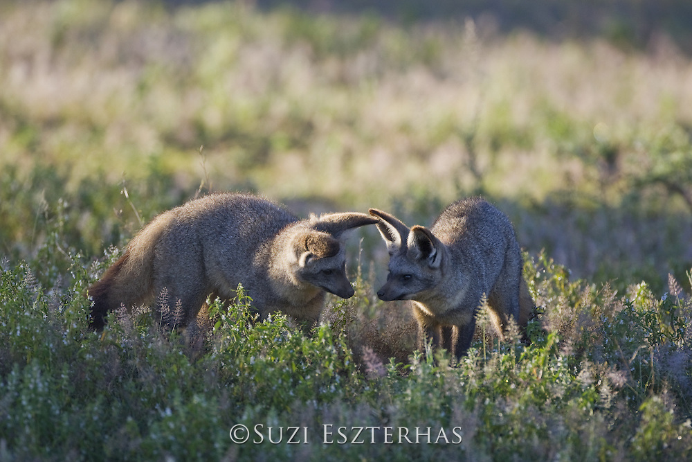 Bat-eared fox<br /> Otocyon megalotis<br /> Foraging for insects<br /> Ngorongoro Conservation Area, Tanzania