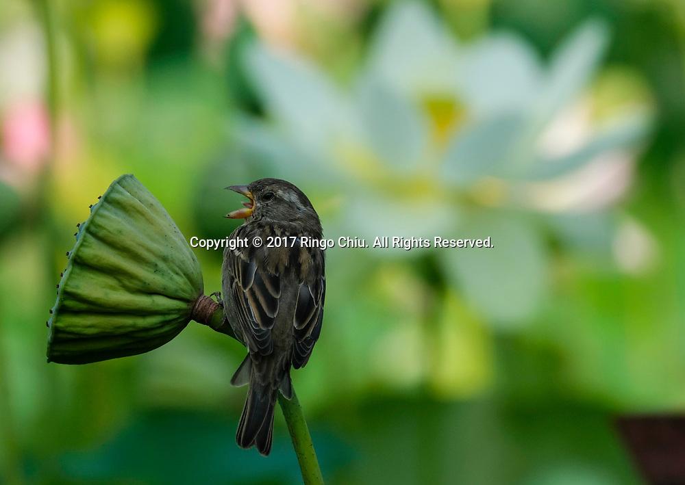 7月12日,在美国洛杉矶市中心附近的回声公园,一只小鸟停在荷花上。一年一度的莲花节将于七月十五至十六日举行,届时不但可观赏盛开的荷花,还将有各式亚洲美食、民俗表演和手工艺品展出。新华社发 (赵汉荣摄)<br /> A bird lands on a lotus flower on Wednesday, July 12, 2017 at Echo Park near downtown Los Angeles, the United States. The annual Lotus Festival will hold on July 15-16. The Festival was originally named &quot;The Day of the Lotus&quot;, and the purpose was to promote an awareness and understanding of the contributions by the Asian and Pacific Islander people to American culture and the local and surrounding communities. (Xinhua/Zhao Hanrong)(Photo by Ringo Chiu)<br /> <br /> Usage Notes: This content is intended for editorial use only. For other uses, additional clearances may be required.
