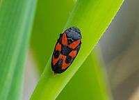 HALFWEG - Bloed cicade. insecten op de golfbaan , Amsterdamse Golf Club. (AGC)  . Insecteninventarisatie  COPYRIGHT KOEN SUYK