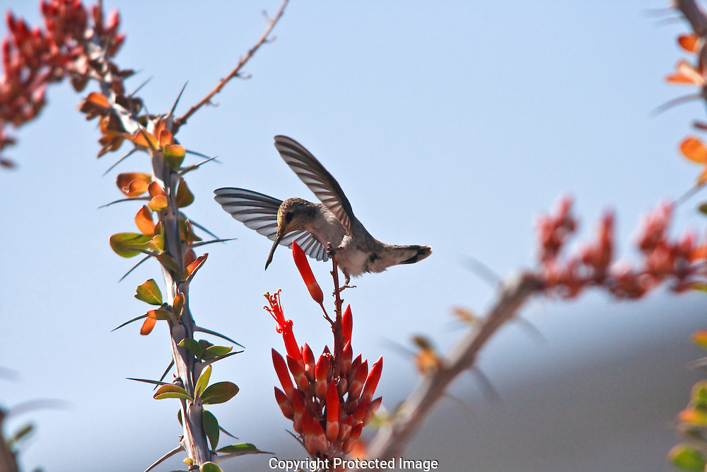 Female Costa's searching for necter in red Ocotillo blooms in the desert southwest