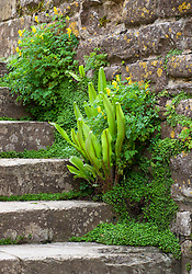 Ferns and corydalis growing on steps at Snowshill Manor. Asplenium scolopendrium