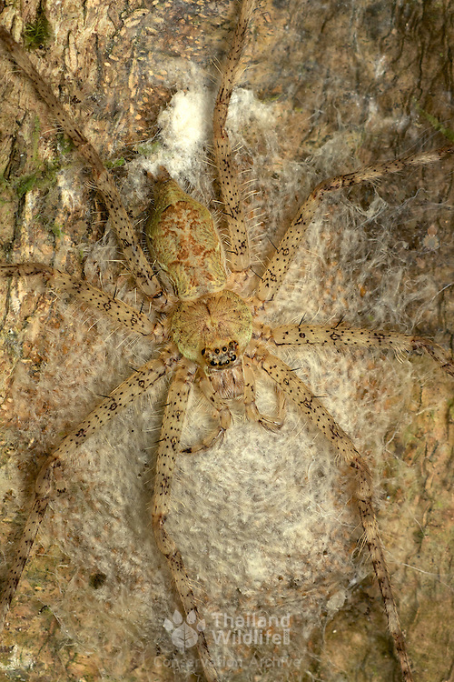 Pandercetes plumipes spider utilizing its exceptional camoflague whilst awaiting prey on a tree trunk.