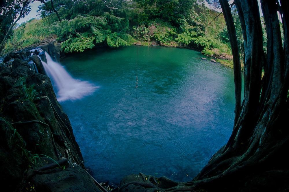 Banyan (Ficus benghalensis) Tree and Rope Swing at Kipu Falls, Kauai, Hawaii, US