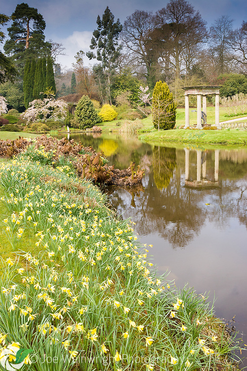 Daffodils bloom beside the lake in the Temple Garden at Cholmondeley Castle - photographed in April.