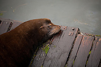 Scenes from Newport, Oregon including fishing boats and the Yaquina bridge and crabbing baskets.  A male sea lion rests on a small dock in the bay.