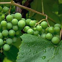 Rain drops on green grapes.