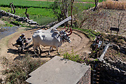 Oxen power ad old and traditional persian wather wheel (sakia) from Tarpal, Rajasthan, India.