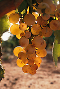 Grapes on the vine ready for harvest near the village of Briones, Rioja, Spain.
