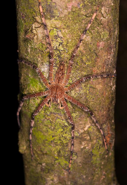 Huntsman spider (Heteropoda boiei) from Kinabatangan River area, Sabah, Borneo