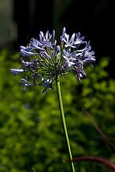 Agapantha flower (Agapanthus)